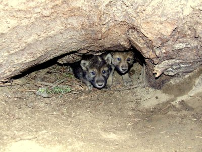 The new gray wolf pups in Colorado have yet to be photographed, so for now you'll have to make do with this bright-eyed pair.