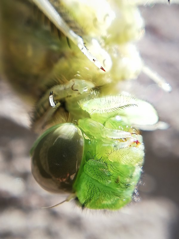 The birth of a dragonfly in macro thumbnail