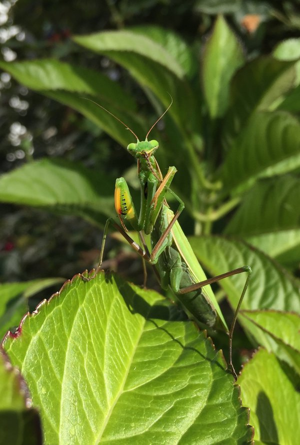 Mantis thumbnail