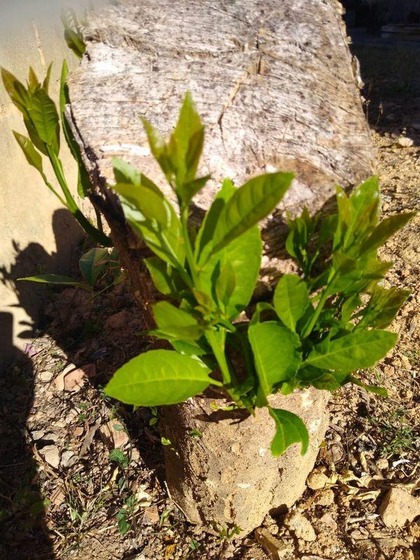 folhas verdes em troncos  secos thumbnail