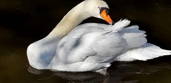 The White Swan thumbnail