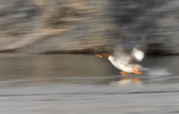 Slow shutter image of a common merganser (female) taking off for a flight thumbnail