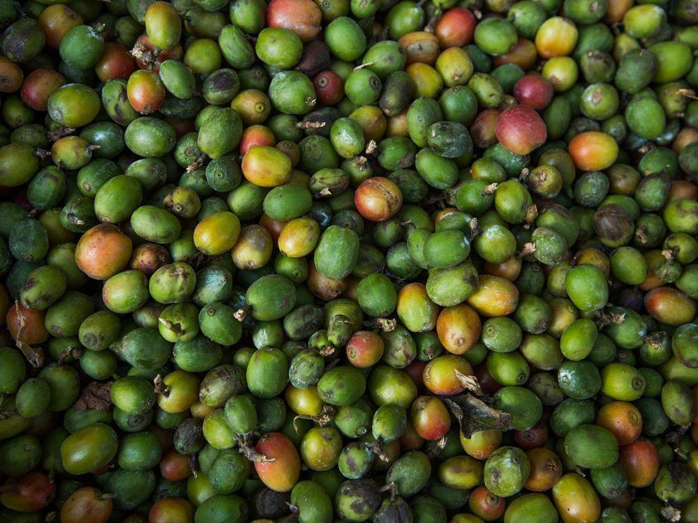 Arabica beans CREDIT Prakash Matada.jpg