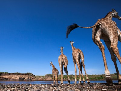 Giraffes make their way across the Mara River. Whether they're ambling or galloping, giraffes maintain balance by moving their necks in synchrony with their legs.