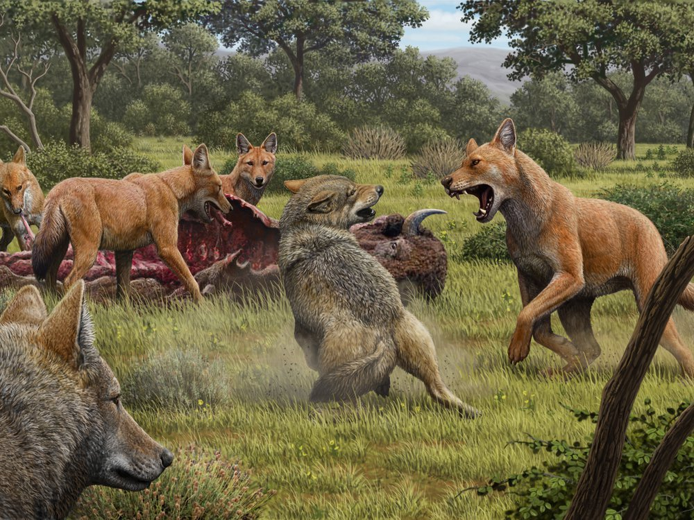 All modern dogs are descended from a wolf species that when extinct around 15,000 years ago. Grey wolves, pictured here fighting for food with now extinct dire wolves (red), are dogs' closest living relative. (Art by Mauricio Antón)