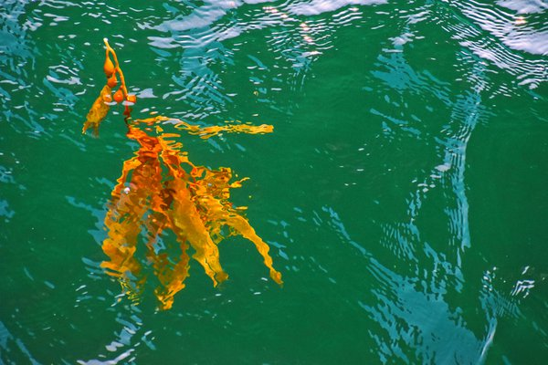 Painted Kelp thumbnail