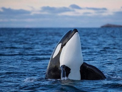 Orcas kill great white sharks, then eat their calorie-dense livers.
