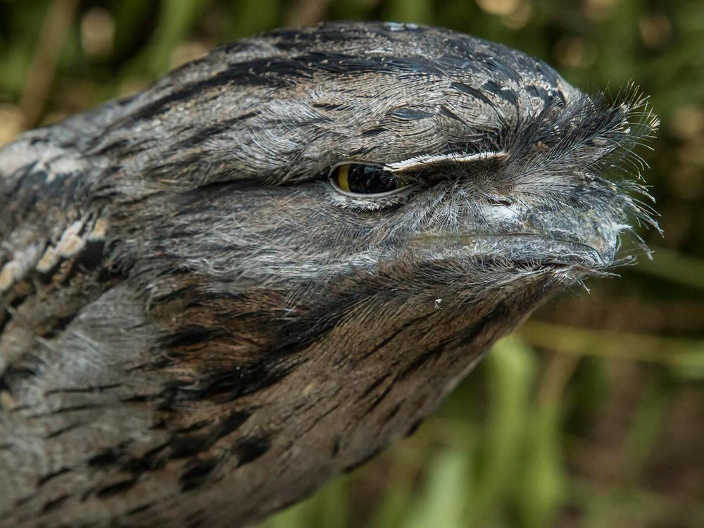 A close up of the frogmouth's head in an angry like expression.