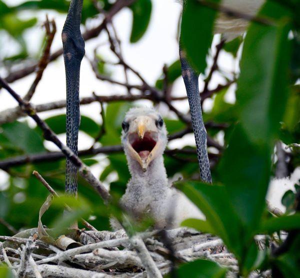 Wood Stork Baby thumbnail