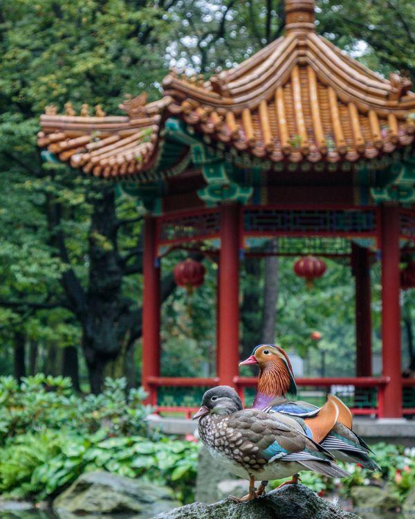 Mandarin ducks thumbnail