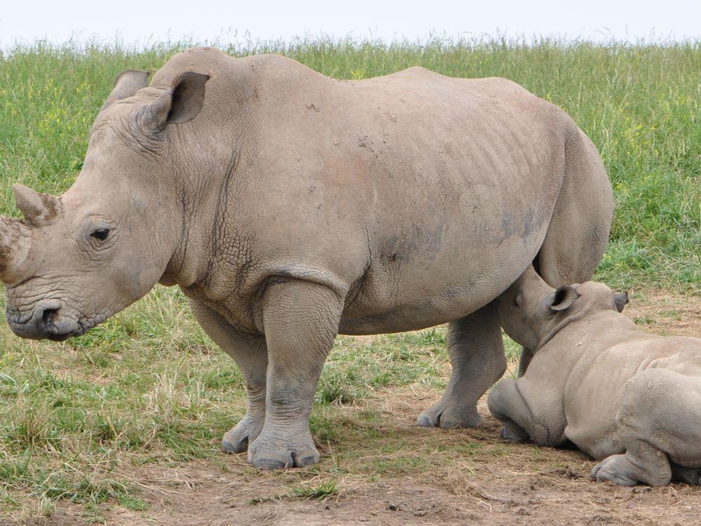 rhino nursing
