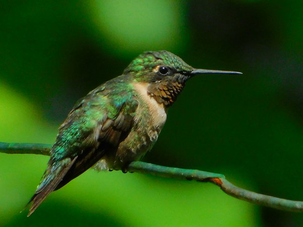 Ruby-Throated Hummingbird on a Clothesline thumbnail