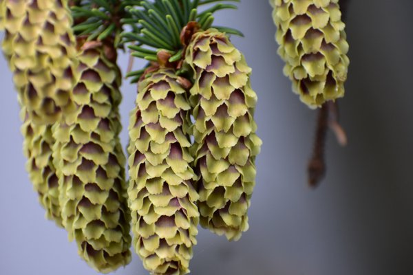 Sitka Spruce Cones thumbnail