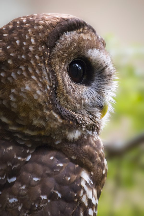 Profile image of a Northern Spotted Owl thumbnail