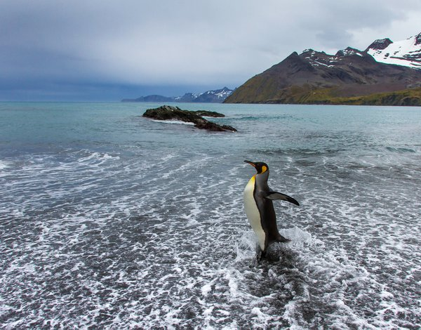 A King Penguin feels the surf rush in along the beach at Gold Harbour on the island of South Georgia. thumbnail