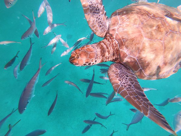 Swimming with Sea Turtles in Barbados  thumbnail
