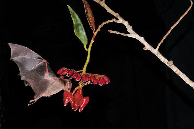 pollinating bats
