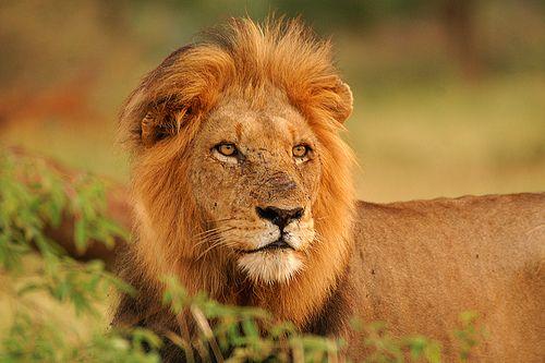 lion-500-333.jpg