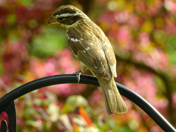 Female Rose Breasted Grosbeak with blossoms thumbnail