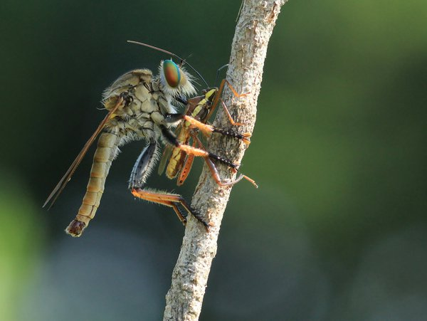 A Robberfly Family of Asilidae thumbnail