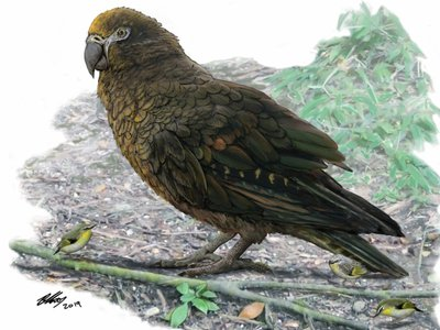 Reconstruction of the giant parrot Heracles, with small New Zealand wrens for scale.