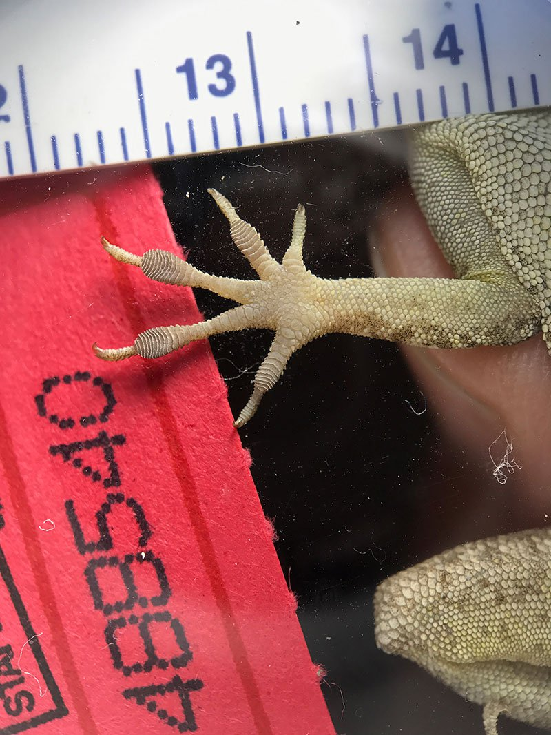 Lizards With Bigger Toes and Smaller Hind Legs Survive Hurricanes