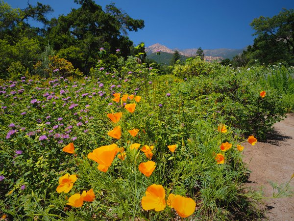 California Poppies in the Meadow of the Santa Barbara Botanical Gardens thumbnail