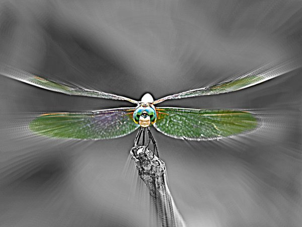 Dragonfly ready for its close-up thumbnail