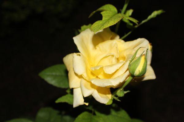 Yellow Rose of Texas thumbnail
