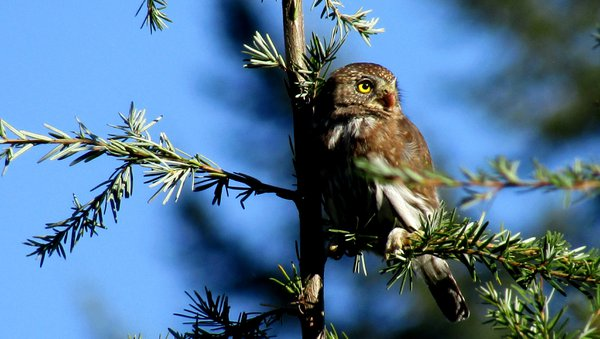 Pygmy Owl in profile atop a hemlock in the orchard.  thumbnail