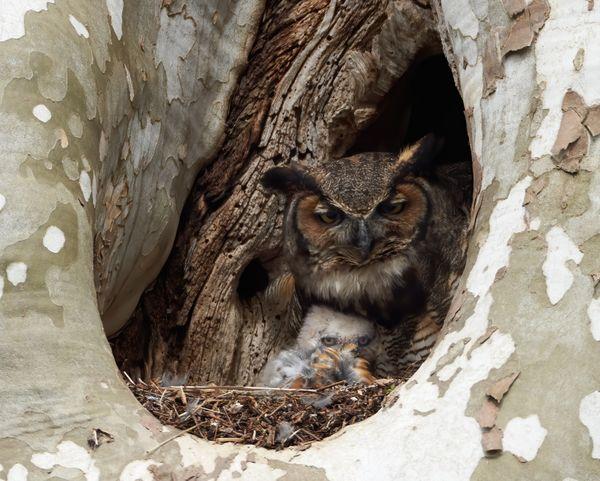 Great Horned Owl family thumbnail