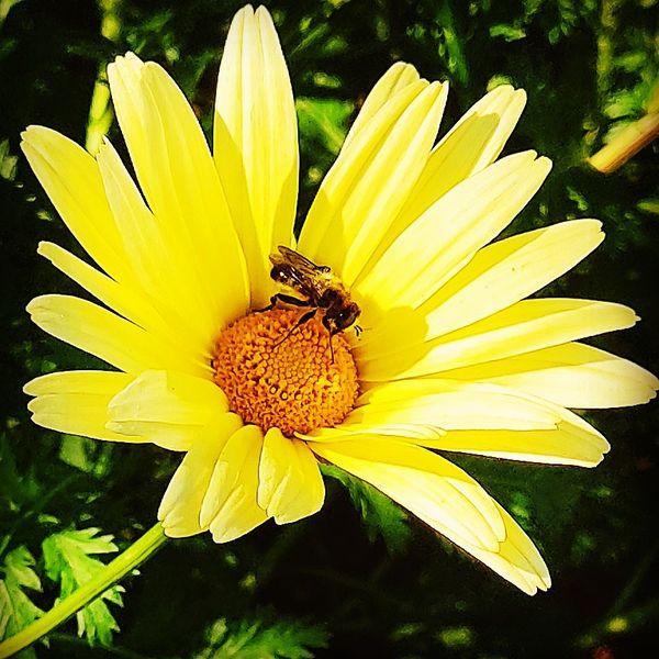 Apies Africaniced inside deisy flower. thumbnail