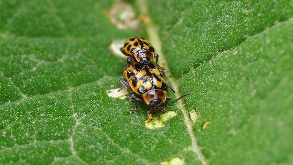 Leaf Beetles thumbnail