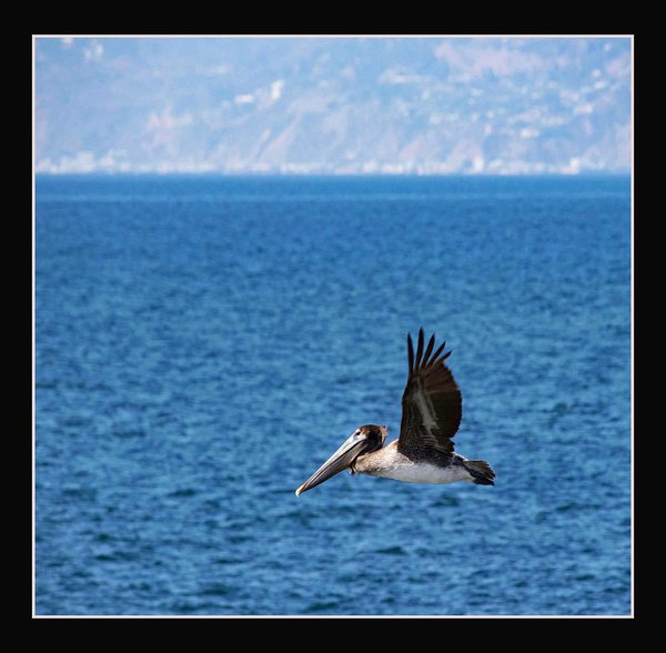 Pelican Flying over the Ocean thumbnail