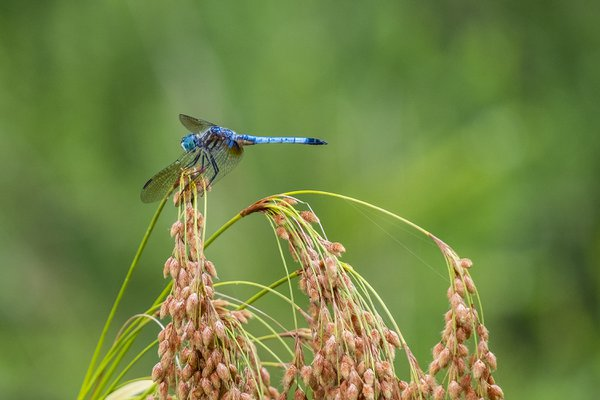Dragonfly, King of the Word (or at least the marsh) thumbnail