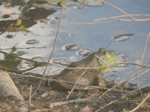 Bullfrog  thumbnail