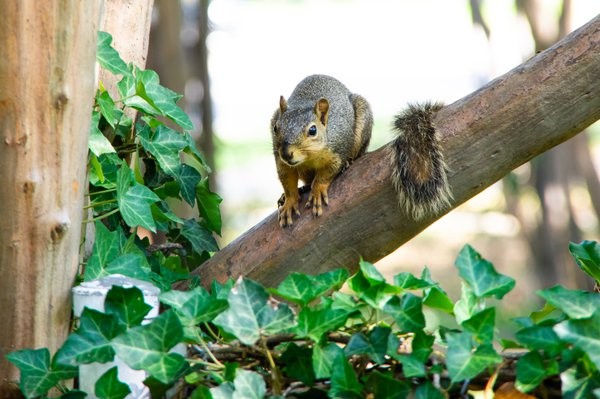 The squirrel who lives in my tree thumbnail