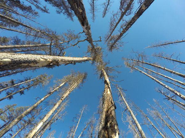 Barren trees in Wyoming. thumbnail