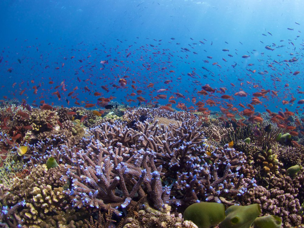 Healthy reef_Blue Acropora and Anthias corals_Philippines (Bart Shepherd © 2015 California Academy of Sciences).jpg
