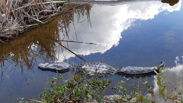 Alligator in the sky thumbnail