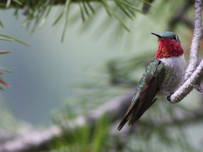 The broad-tailed hummingbird uses its fiery throat feathers, called a gorget, to attract a mate. (Kati Fleming, CC BY-SA 3.0)