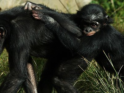 The way a baby chimpanzee gestures to her mother resembles how a human infant interacts with its mother.