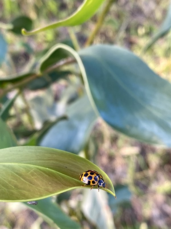 Ladybug on the Leaf thumbnail