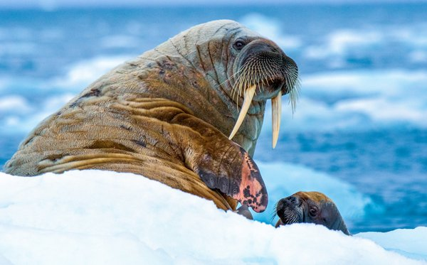 Walrus With Baby thumbnail