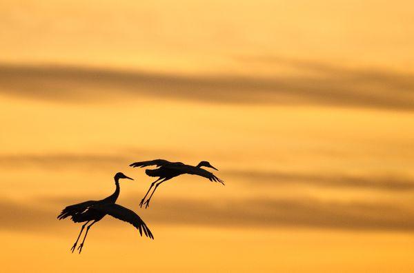 Sandhill Cranes Landing at Sunset thumbnail