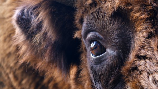 A European bison's eye. thumbnail