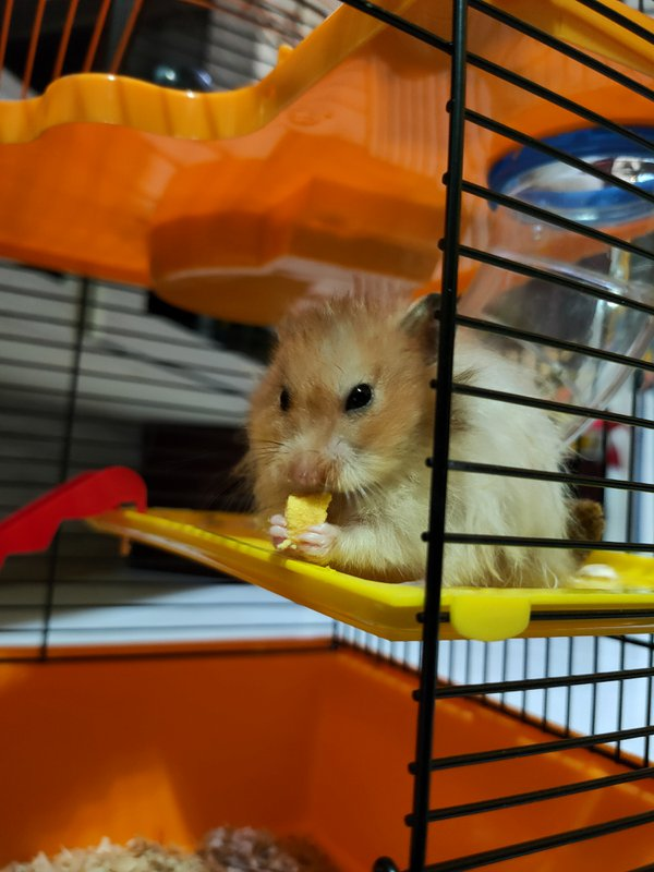 A Syrian hamster having a snack. thumbnail