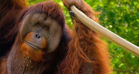 Adult male orangutans