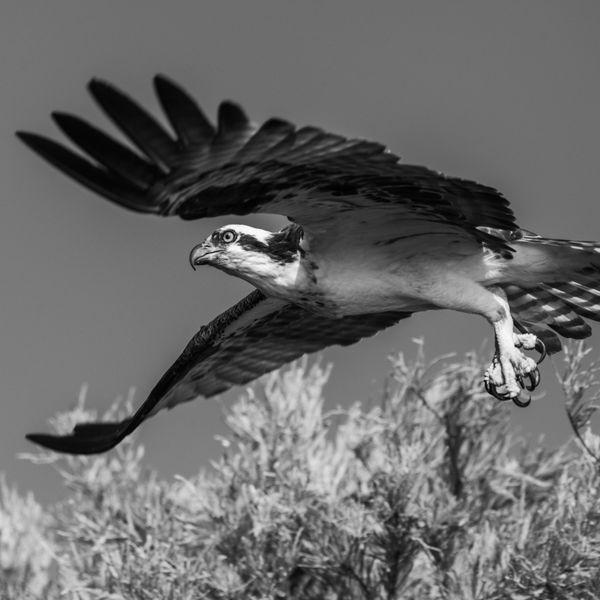 Osprey in flight thumbnail