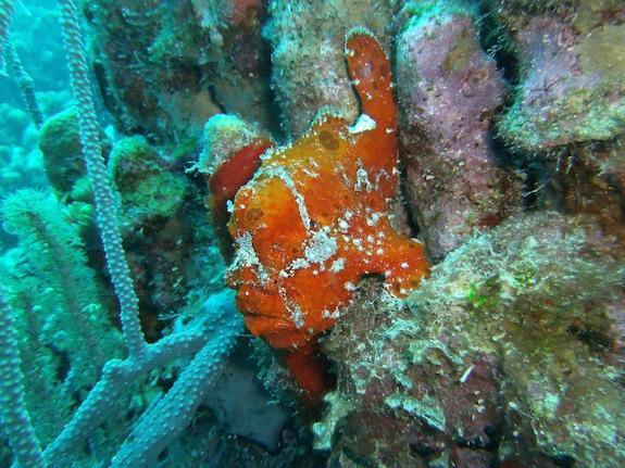 Frogfish Might Look Like Sponges, But They're Super Fast